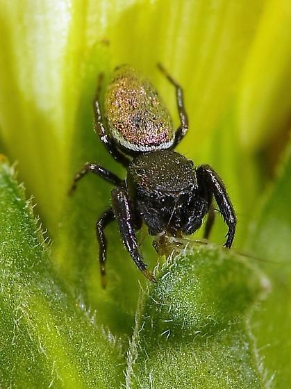Jumping Spider - Sassacus vitis