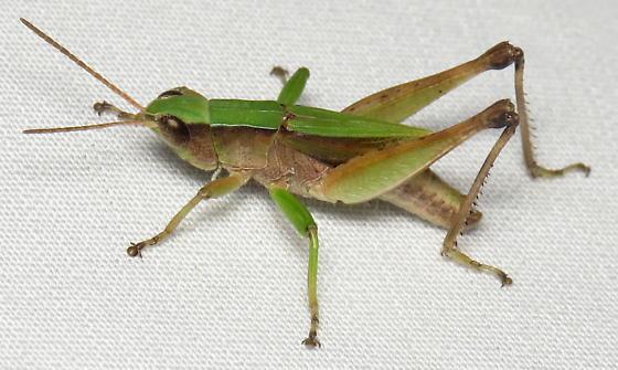 Dichromorpha viridis - male