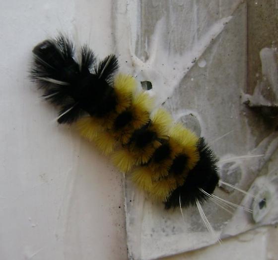 Lophocampa maculata? - Lophocampa maculata