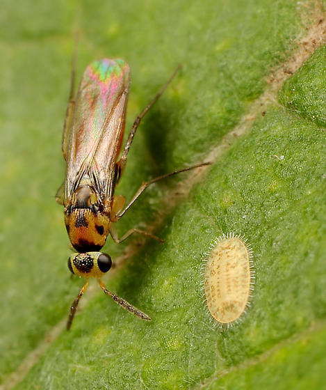Wasp ID - Elasmus