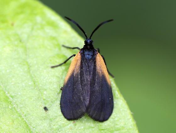Orange-patched Smoky Moth - Pyromorpha dimidiata