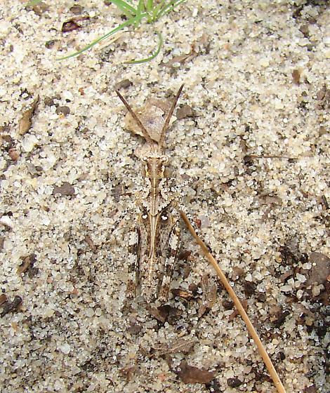 Longhorn bandwinged grasshopper