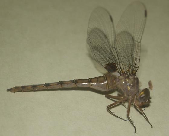 Stygian Shadowdragon - Neurocordulia - female