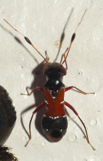Pilophorus - Pilophorus laetus