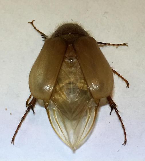 Miniature June Beetles - Phyllophaga