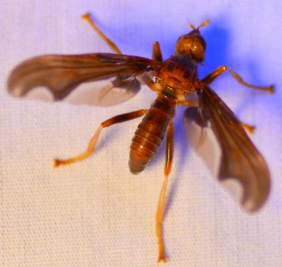 Fly?!  This thing is huge! - Pyrgota undata