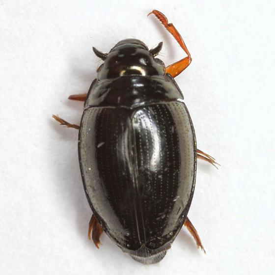 Gyrinus plicifer LeConte - Gyrinus plicifer