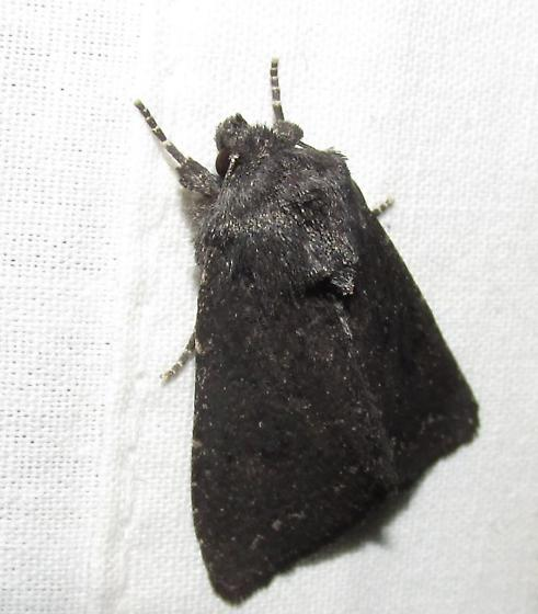 Needs a Page..Aseptis fanatica Mustelin 9531.1 (can go to MPG too) - Aseptis fanatica