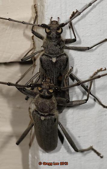 Banded Hickory Borer - Knulliana cincta - male - female