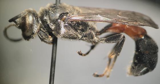 Carbonid wasp, Trypoxylon? - Trypoxylon