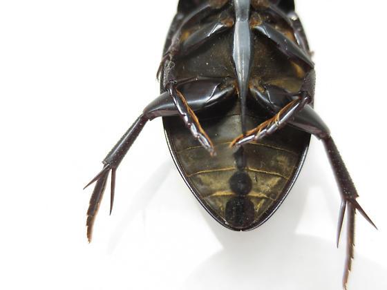 Giant Water Scavenger Beetle - Hydrophilus ovatus