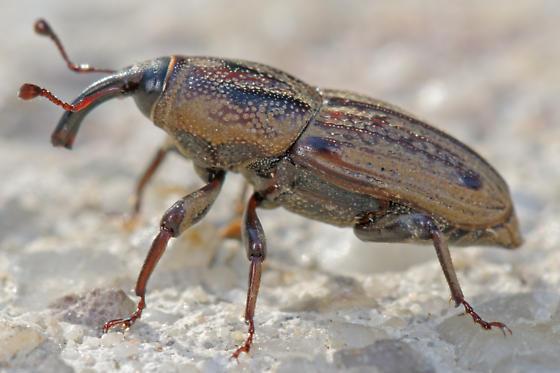 Sphenophorus sp - Sphenophorus venatus