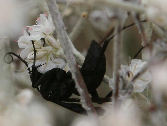 Black Spider Wasp  - Anoplius? - Anoplius
