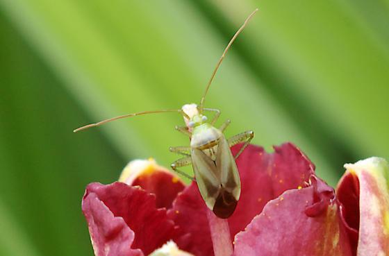 small bug - Adelphocoris lineolatus