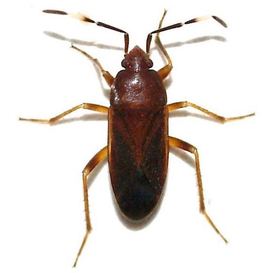 Bug  - Cistalia explanata