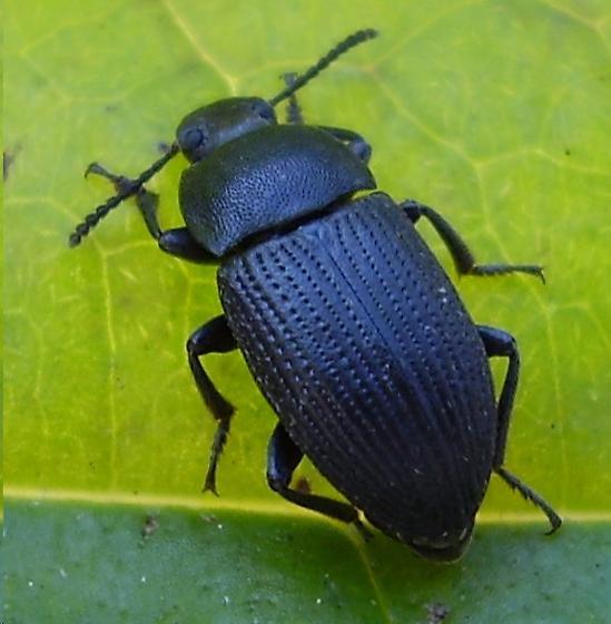 Beetle - Blapstinus