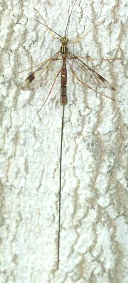 ichneumonid 5 - Megarhyssa macrurus - female