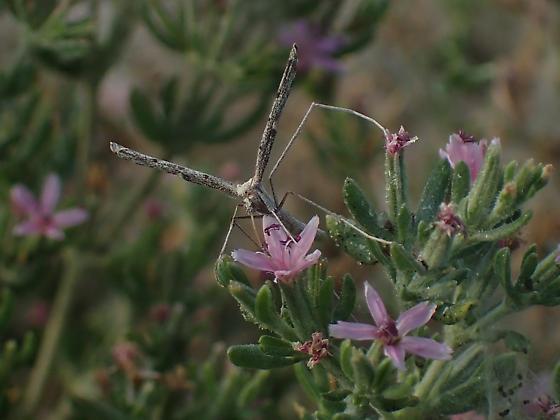 Alkali Heath Plume Moth - Agdistis americana