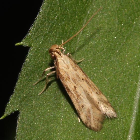 Gelechiidae, Burdock Seedhead Moth, dorsal - Metzneria lappella