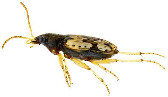 Tetragonoderus latipennis? - Tetragonoderus
