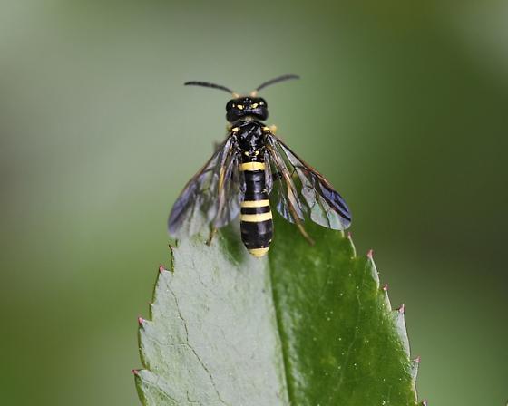 Tenthredinidae, Allantinae Allantus viennensis (Schrank),  - Allantus viennensis - female