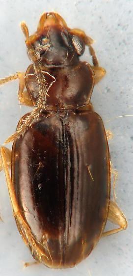 small carabid 4 - Tachys pumilus