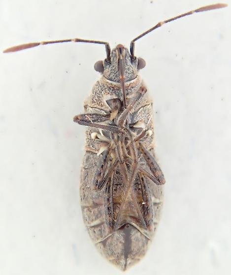 Bug - Neortholomus scolopax - female