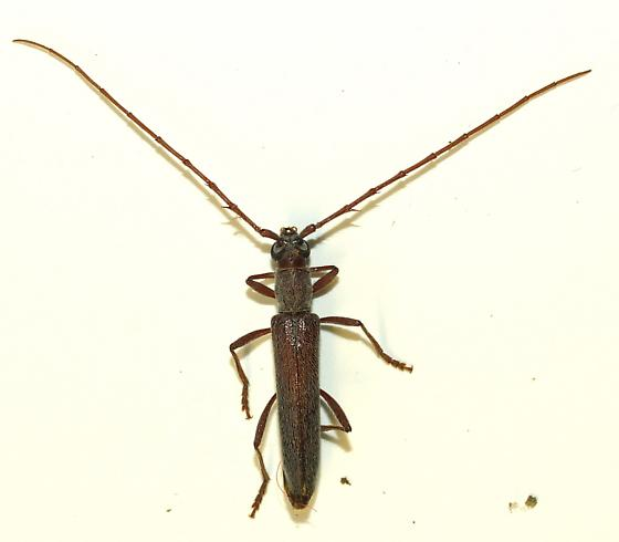 Ver narrow - Aneflomorpha