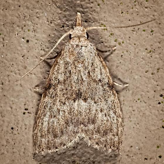 Mystery Moth female - Nola - female