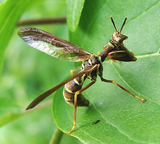Wasp Mantidfly - Climaciella brunnea