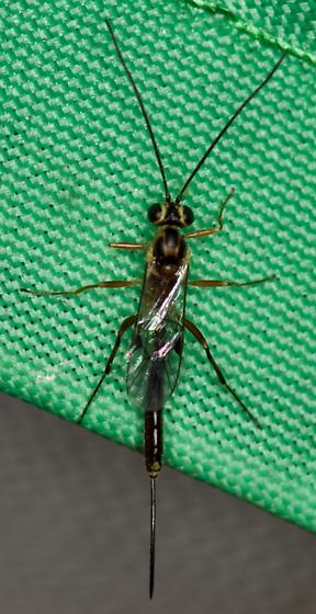Small Wasp, came to black light.