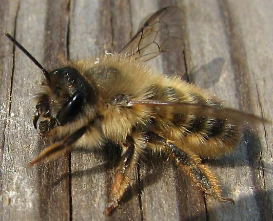 Mason Bee - Osmia taurus - female