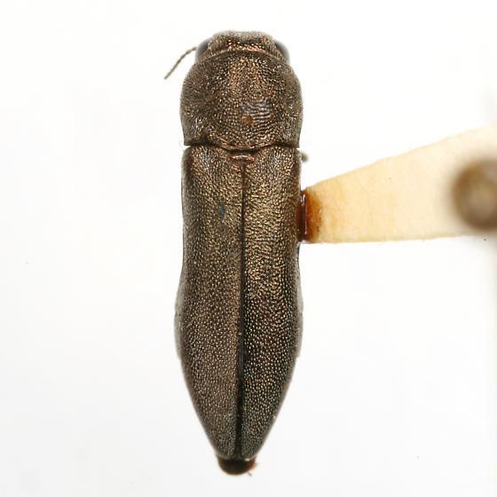 Agrilus salviaphilos Manley - Agrilus salviaphilos - female