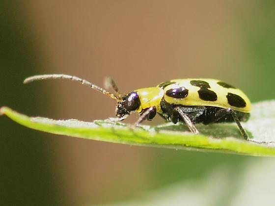 Spotted Cucumber Beetle,  (Diabrotica undecimpunctata) - Diabrotica undecimpunctata
