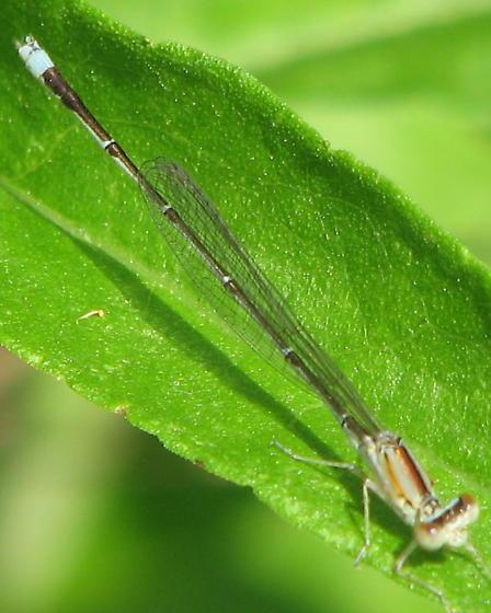 Vesper Bluet - Enallagma vesperum - male