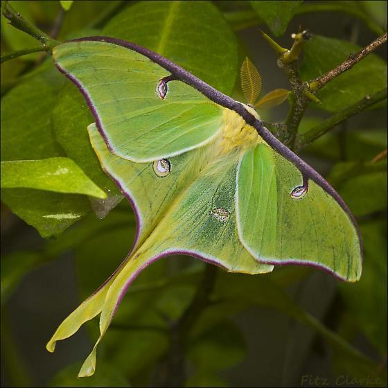 Species Actias luna - Luna Moth  - Actias luna