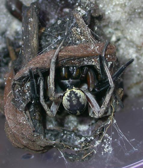 Geolycosa fatifera - male - female