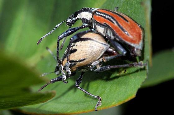 Diaprepes Root Weevil (Diaprepes abbreviatus) - Diaprepes abbreviatus - male - female