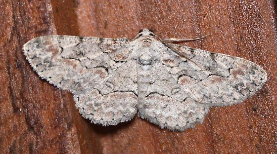 Geometrid Moth - Iridopsis defectaria