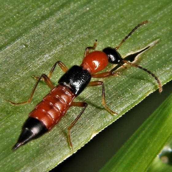 Paederus littorarius - Rove Beetle - Paederus