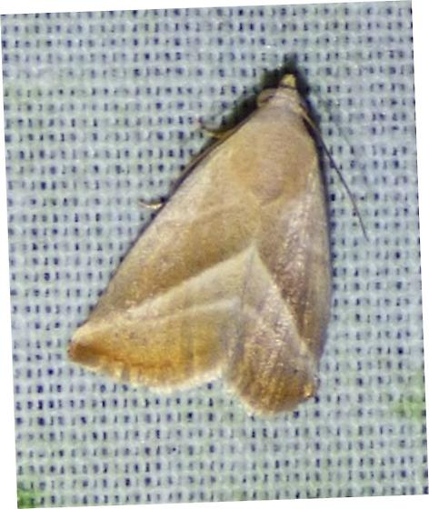 unknown moth - Eublemma recta