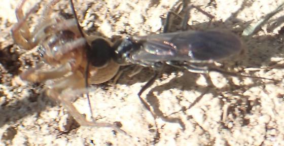 Pompilidae - Maybe Auplopus (?) - Priocnemis minorata