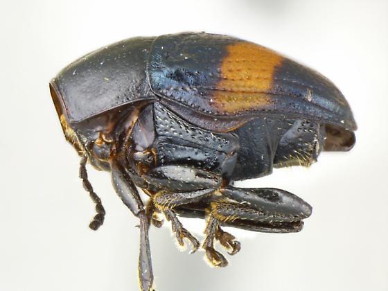 A dark color variant of L. mexicanus - Lexiphanes mexicanus - female
