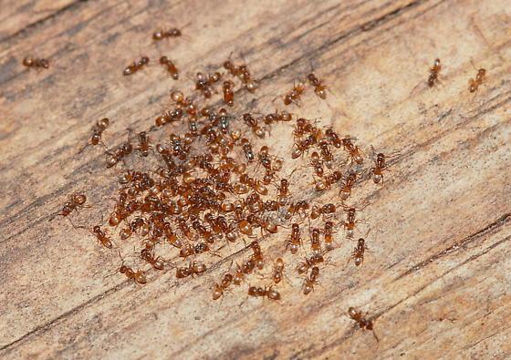 Ants - Forelius pruinosus