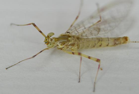Mayfly - Stenonema femoratum