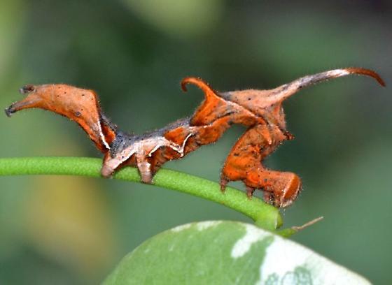 Caterpillar - Phyprosopus callitrichoides