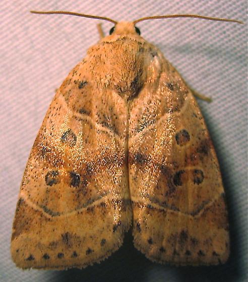 American Dun-bar Moth - Hodges #9815 (Cosmia calami) - Cosmia calami