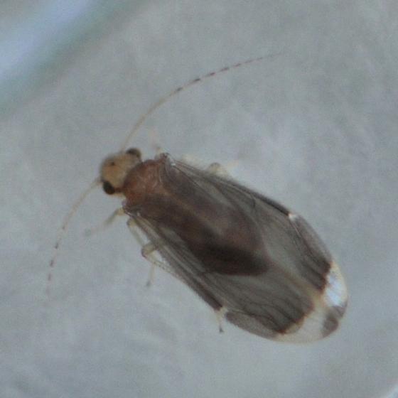 Barklouse - Polypsocus corruptus - female