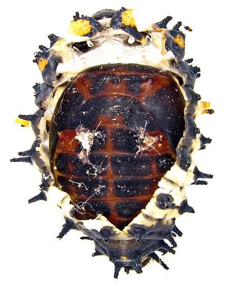 Coccinellidae pupa? - Axion plagiatum