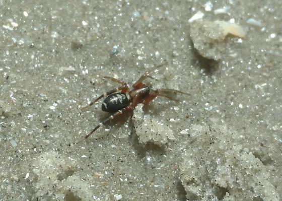 Spider on Beach - Castianeira